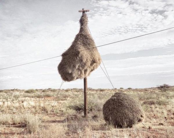 Громадные гнезда крошечных птичек