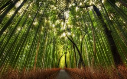 Бамбуковый лес «Sagano Bamboo»
