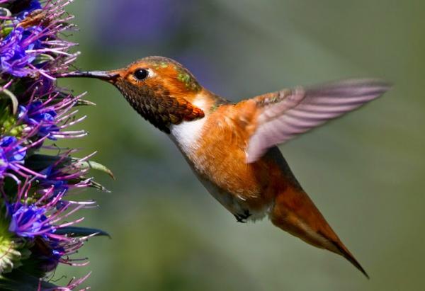 Колибри - самая маленькая птица в мире