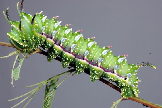 10 невероятно красивых гусениц